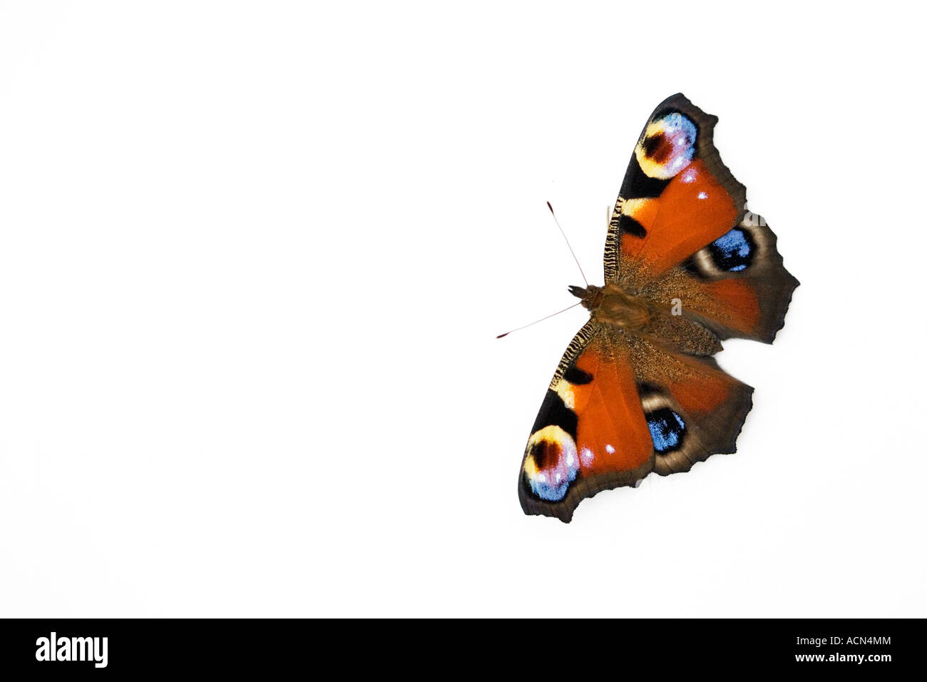 Aglais io. Peacock butterfly on white background - Stock Image