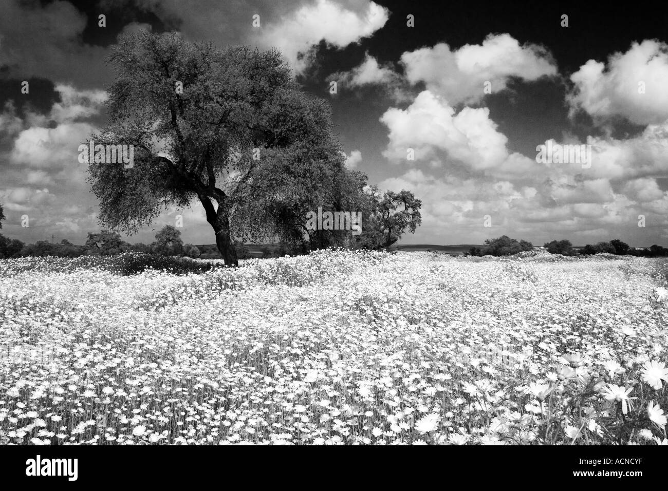 Andalusian black and white landscape with holm oak - Stock Image