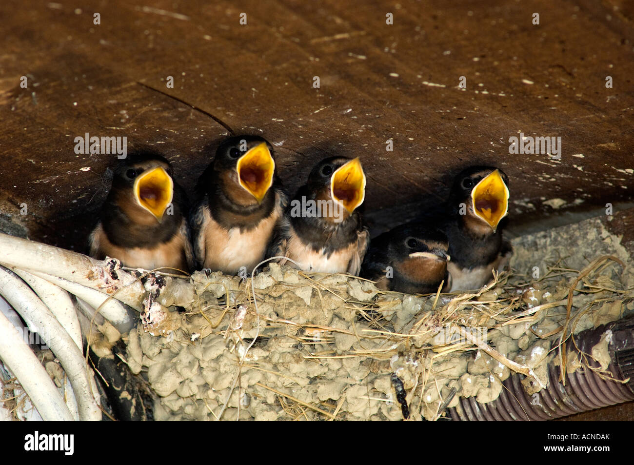 France Southwest Baby swallows waiting to be fed in their nest on porch of French home Beaks open - Stock Image