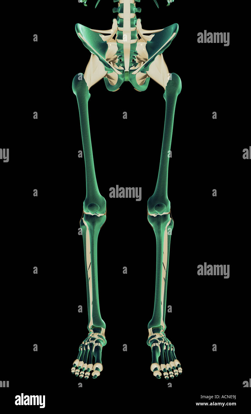 The ligaments of the lower body - Stock Image