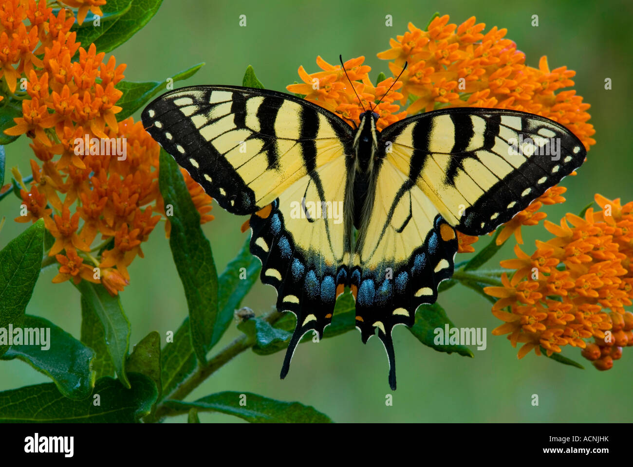 Eastern Tiger Swallowtail Butterfly Papilio glaucus on Butterfly Weed Asclepias tuberosa  E USA Stock Photo