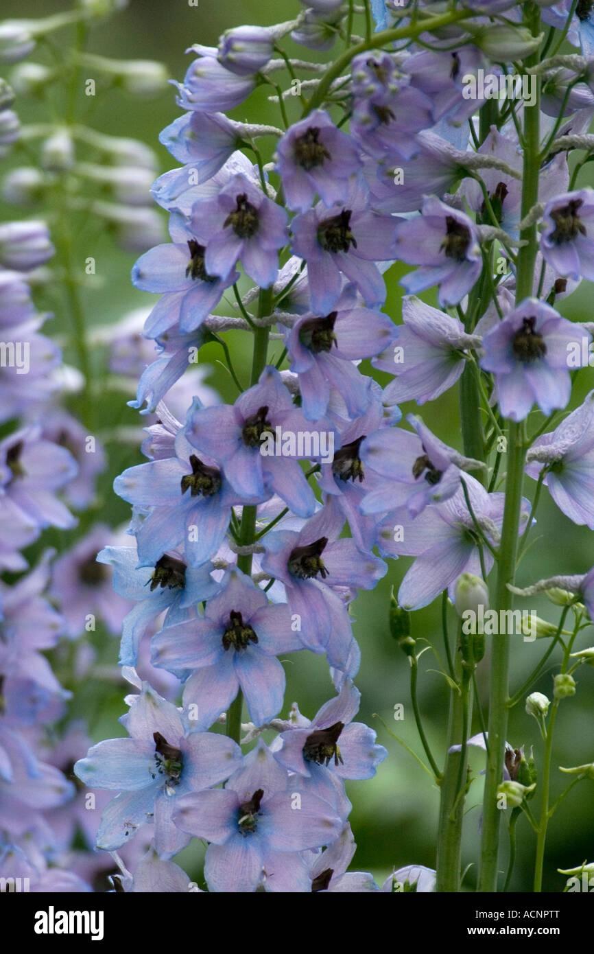 light-blue Delphinium - Consolida ajacis - Stock Image
