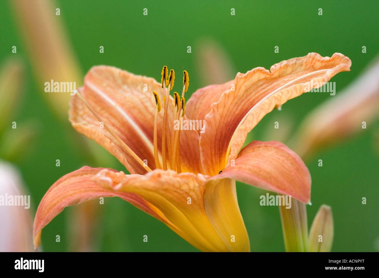 orange Lilium - Lilium Stock Photo