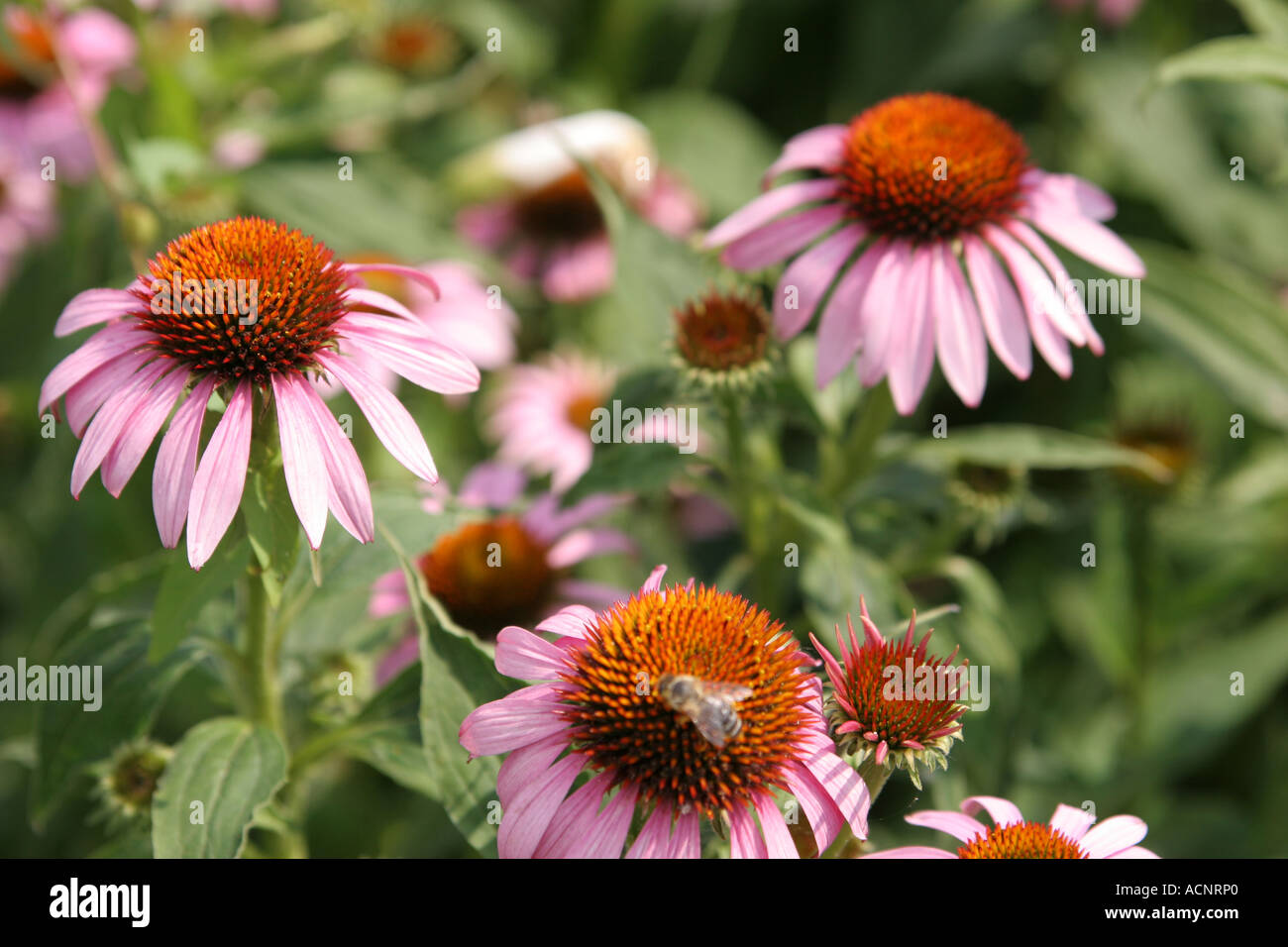 Cut leaved coneflowerEchinacea purpur - Sonnenhut  Echinacea purpur - Stock Image