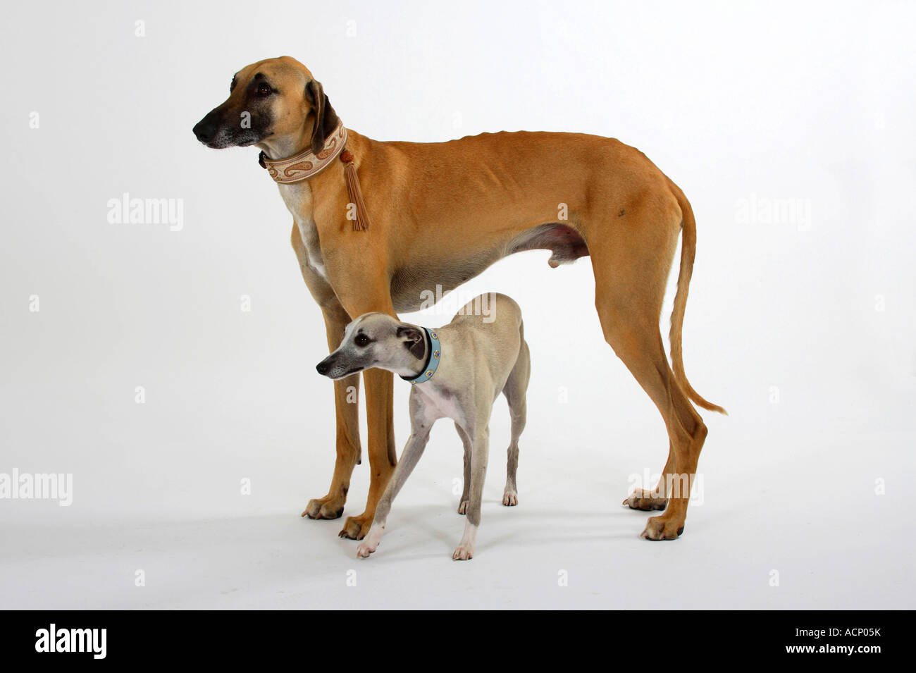 Sloughi and Whippet - Stock Image