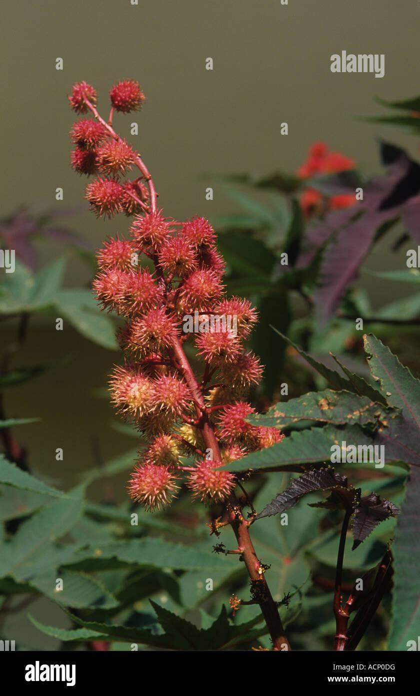 Castor Ricinus communis seedhead ripening plant Crete - Stock Image