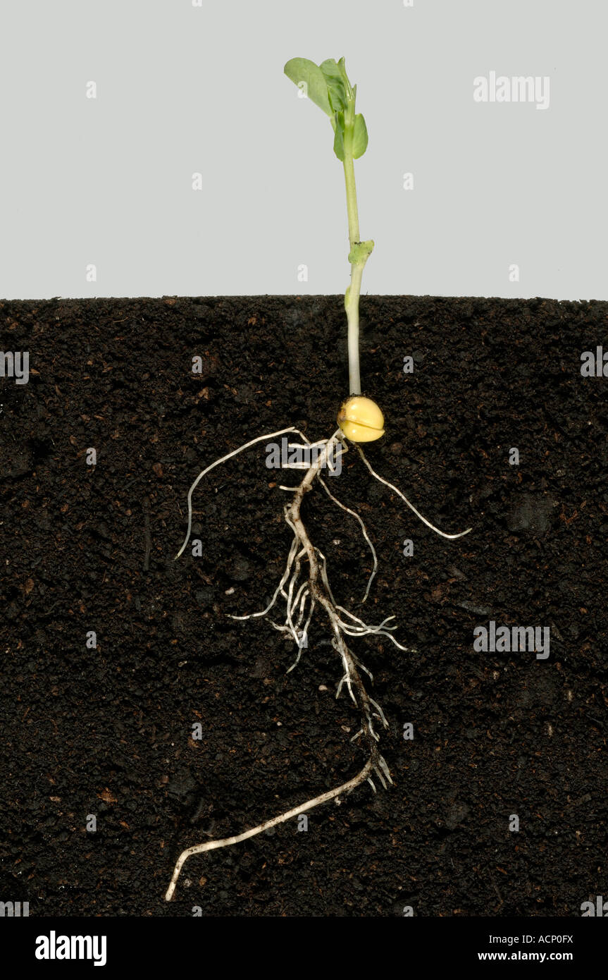 Pea seedling showing roots pea seed below soil and the first true leaves - Stock Image
