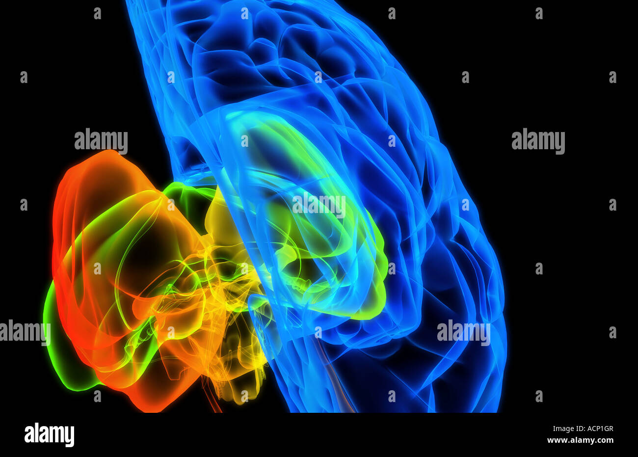 The brain - Stock Image