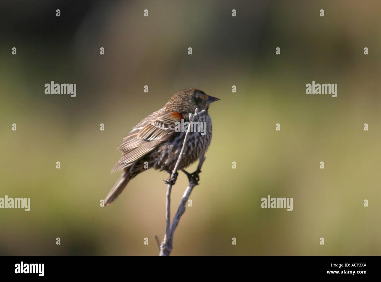 Birds of North America, Alberta Canada, song sparrow, melospzia