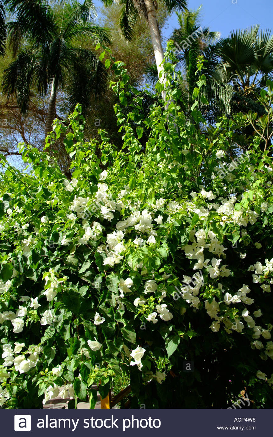 Colourful Climbing Plant With White Flowers On Plantation Or Stock