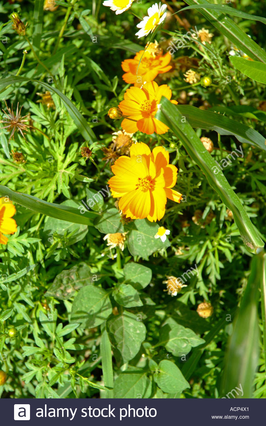 Colourful Orange White And Yellow Flowers In Flower Border On This