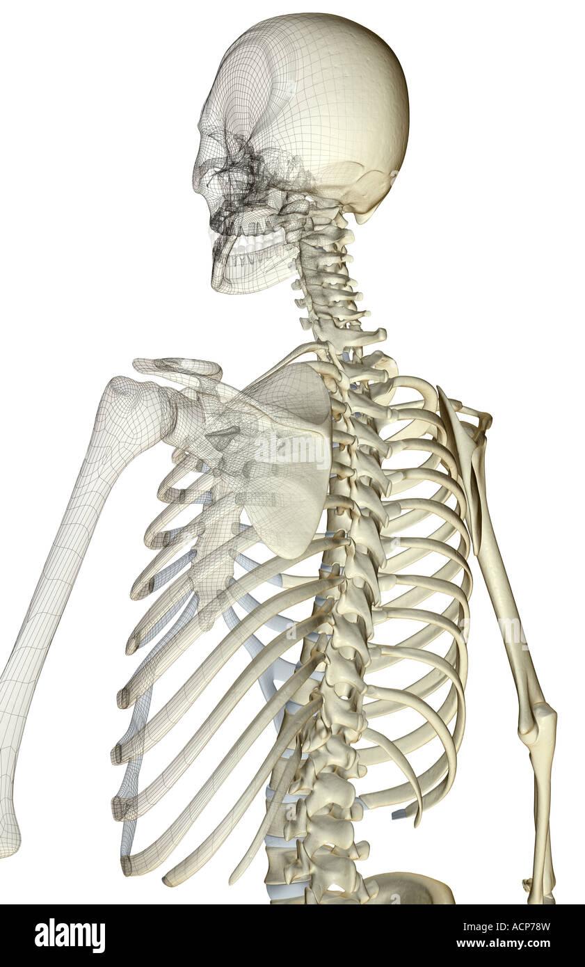 Upper Body Bone Structure Stock Photos Upper Body Bone Structure