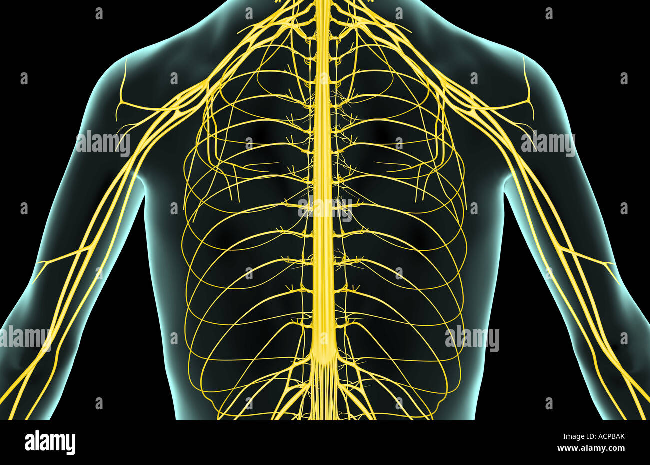 The nerves of the upper body Stock Photo