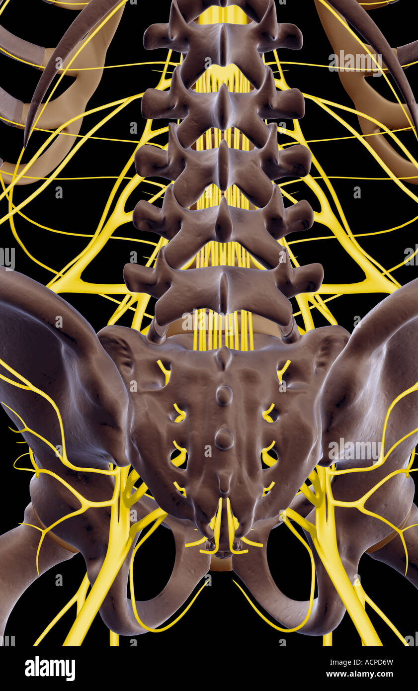 The nerves of the lower back Stock Photo
