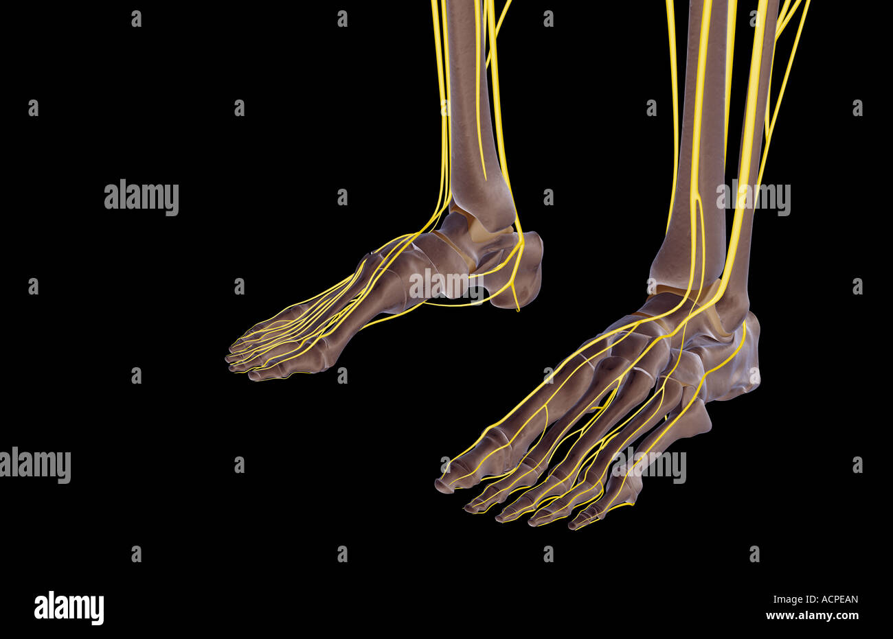 The Nerves Of The Feet Stock Photo 13207388 Alamy