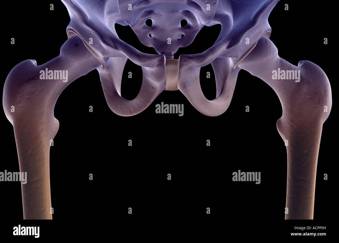 The bones of the pelvis - Stock Image