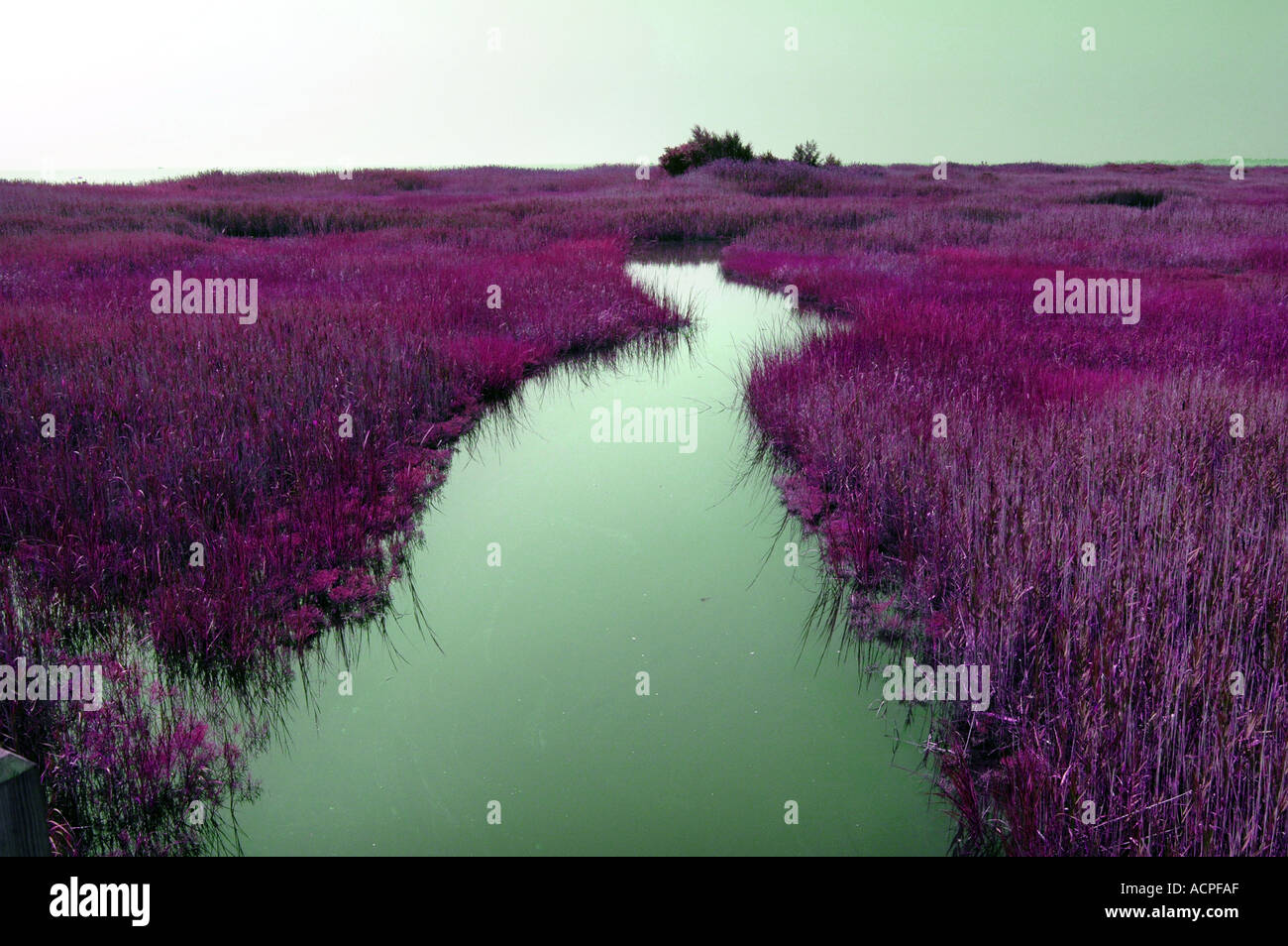 A greenish river with purple grass surreal landscape - Stock Image
