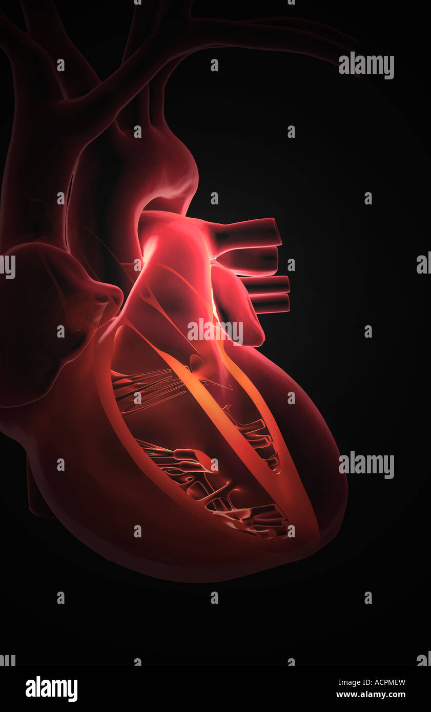 Sectional anatomy of the heart Stock Photo: 13209456 - Alamy