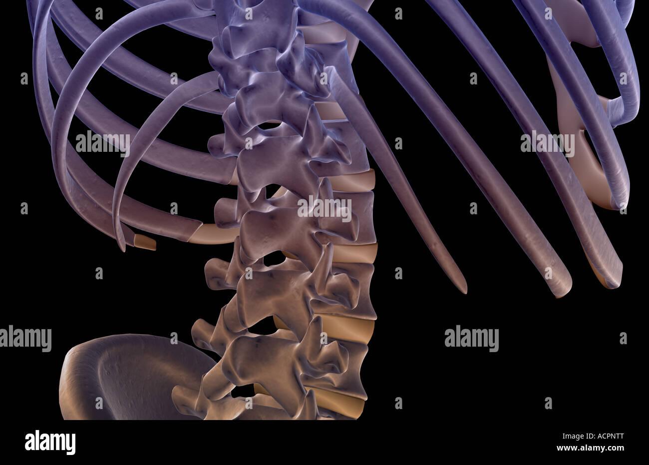 Lower Back Bone Stock Photos Lower Back Bone Stock Images Alamy