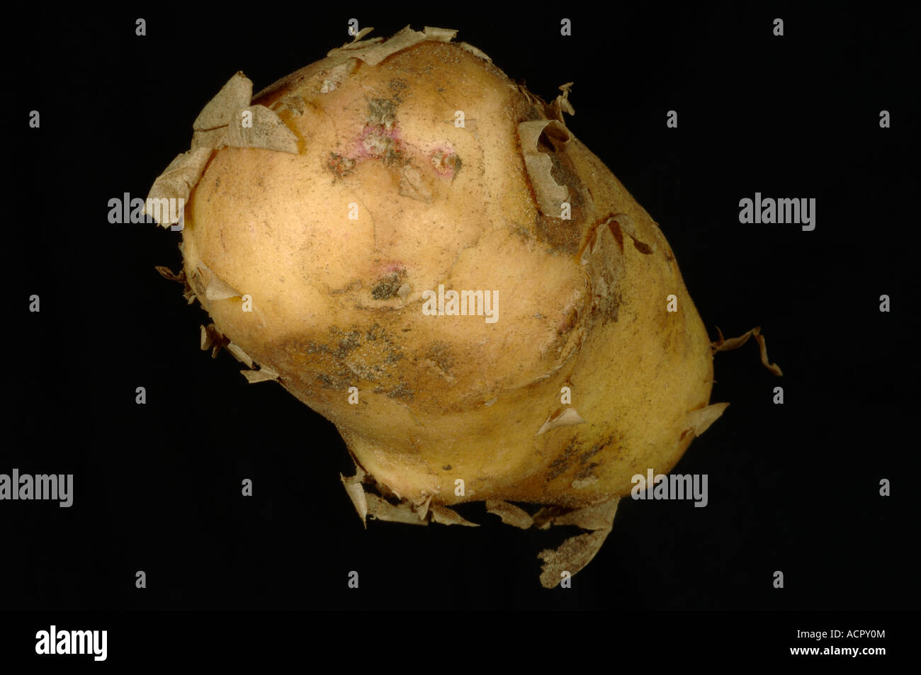 New potato tuber ex supermarket with loose outer skin - Stock Image