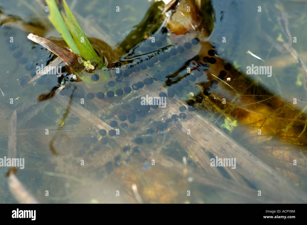 Strings of toad spawn Bufo bufo in a garden pond - Stock Image