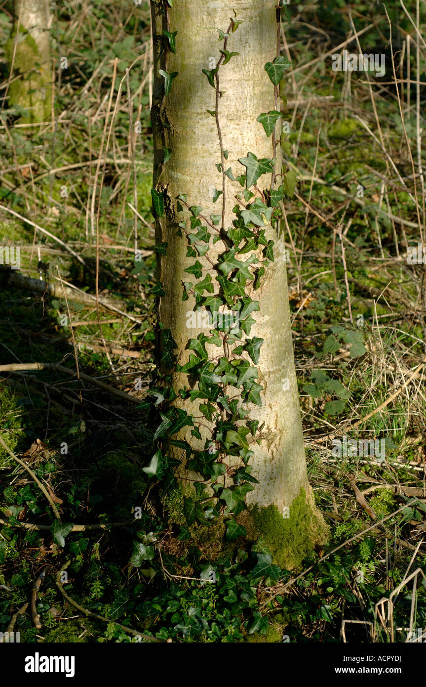 Ivy Hedera helix beginning to grow climb on the trunk of an ash tree - Stock Image