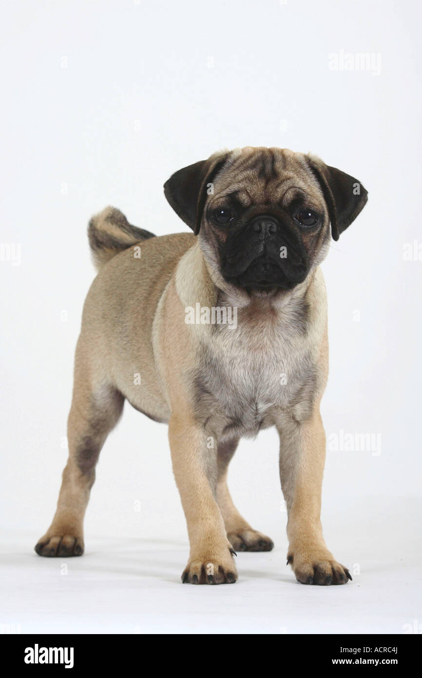 Pug puppy 16 weeks - Stock Image