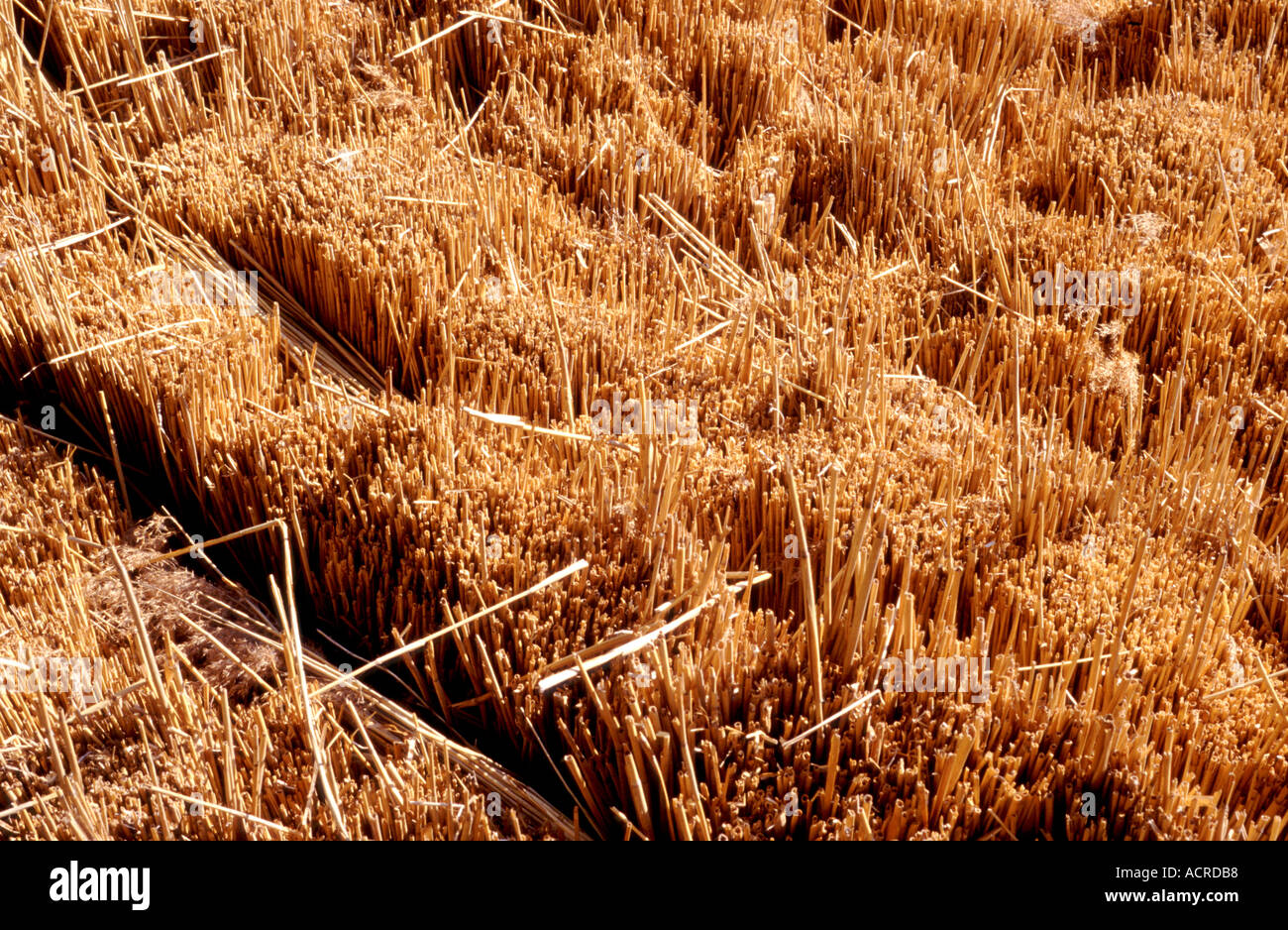 DRY REEDS FOR THATCHING ENGLAND UK - Stock Image