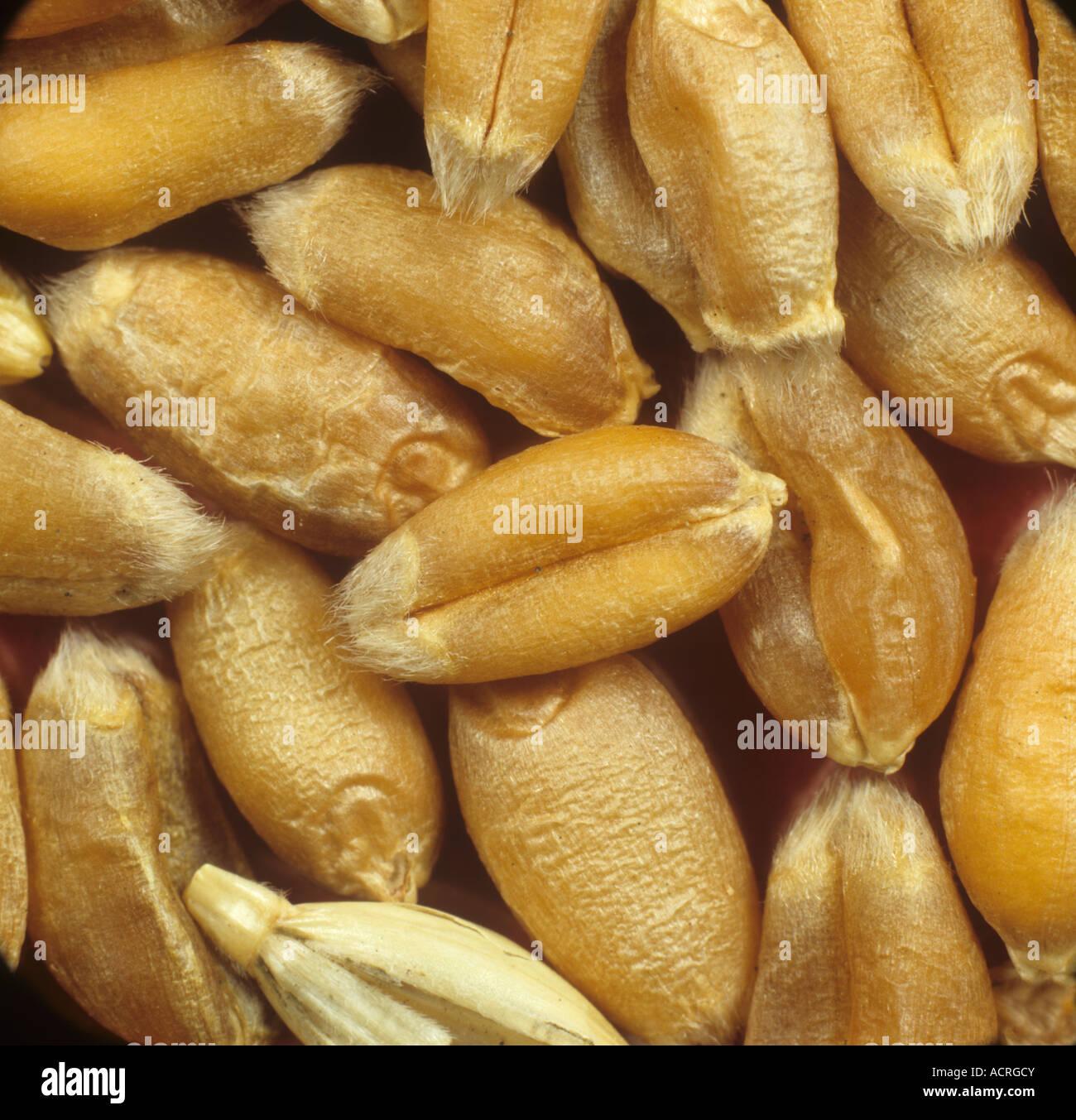 Wheat seed or grain - Stock Image