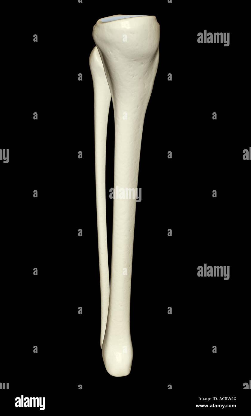 Bones Of The Leg Stock Photos Bones Of The Leg Stock Images Alamy