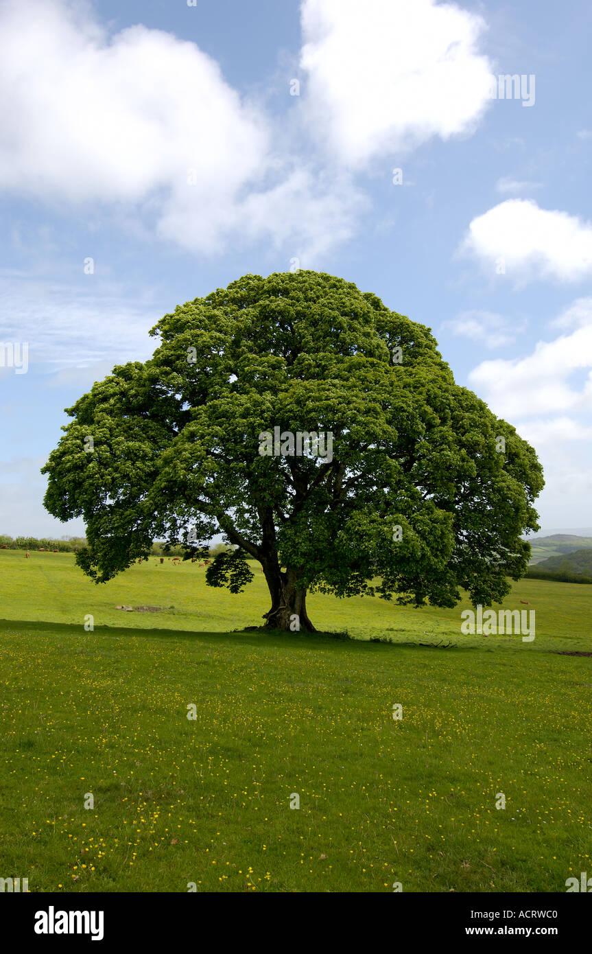 maple tree South Devon England Grossbrittanien - Stock Image