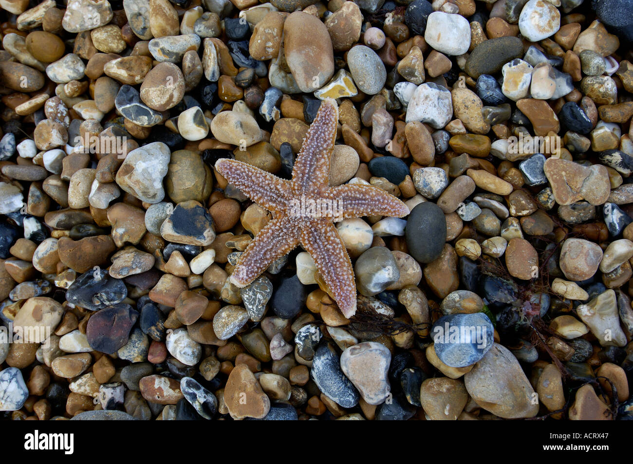 Starfish Brighton West Sussex England - Stock Image