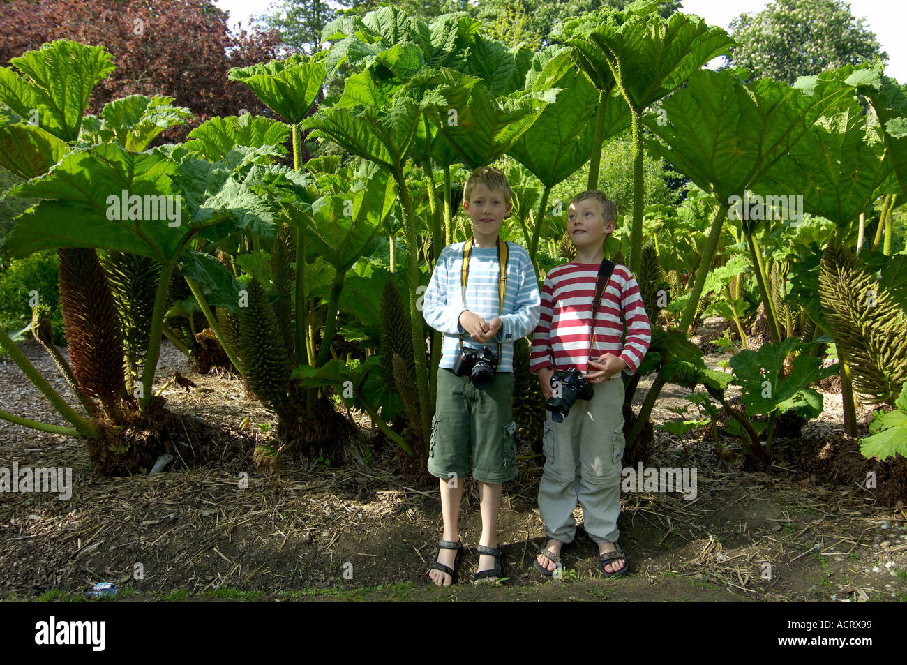Two boys with cameras standing under Giant Rhubarb Gunnera manicata - Stock Image