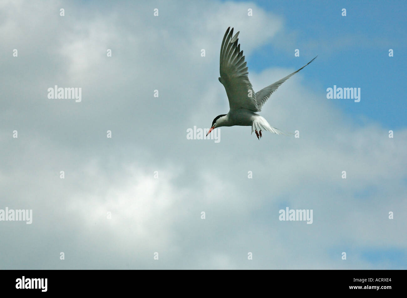 Bird in a characteristic pose of lag before prompt impetuous