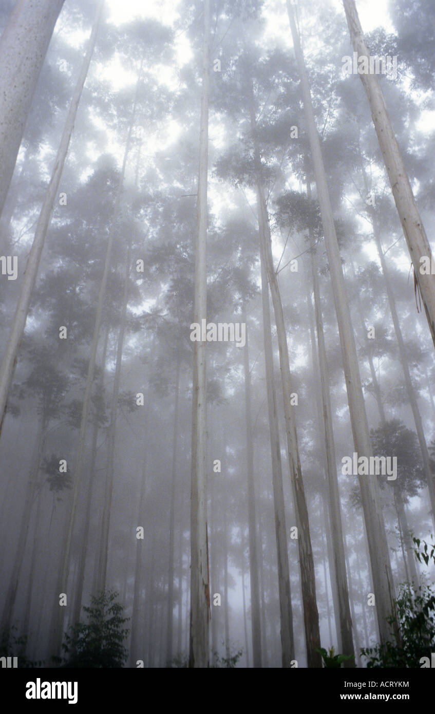 Tall Eucalyptus grandis trees 50 m tall reach upwards in the mists of the commercial forest plantations near Stock Photo