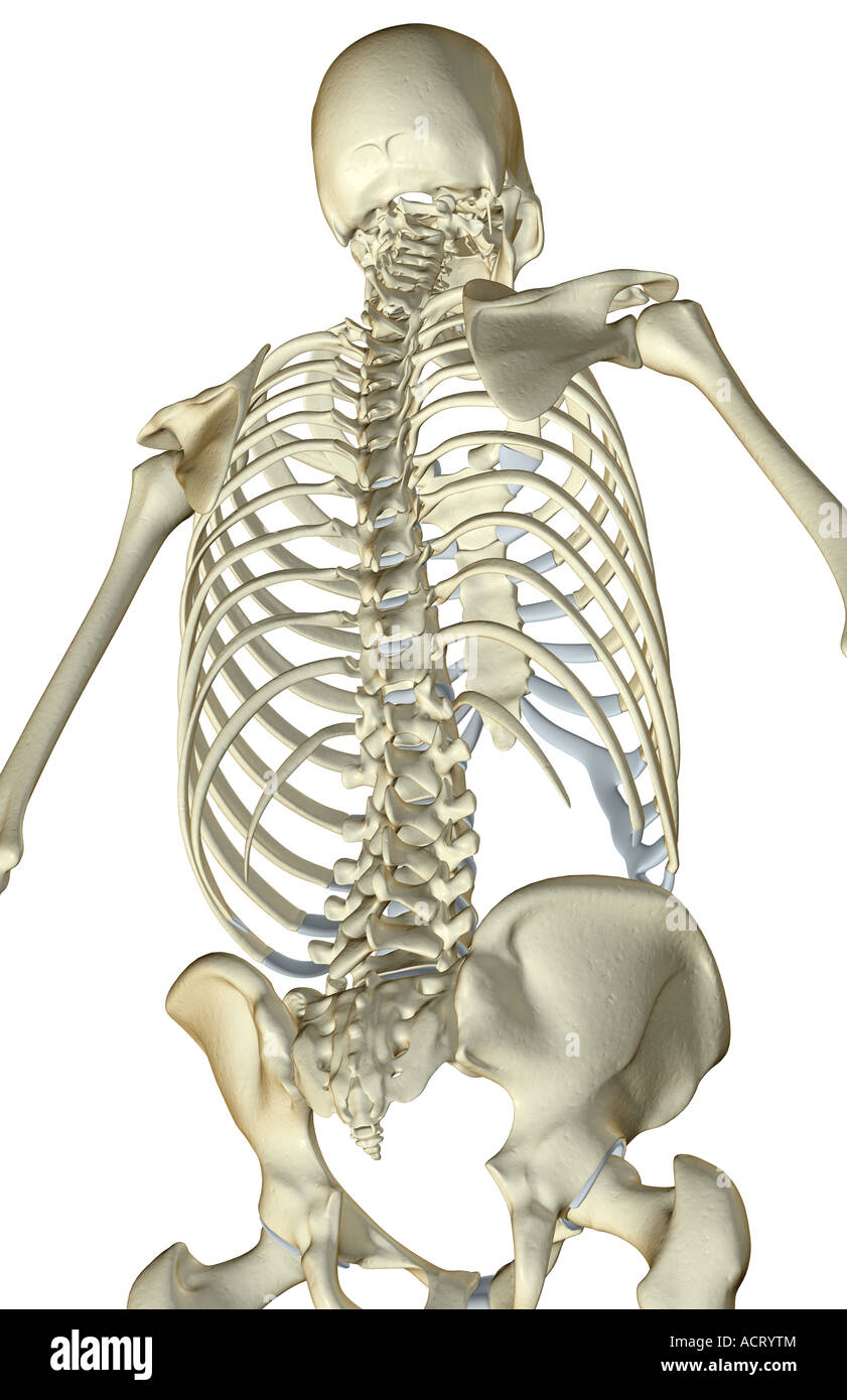 Bone Structure Of The Upper Body Stock Photos & Bone Structure Of ...