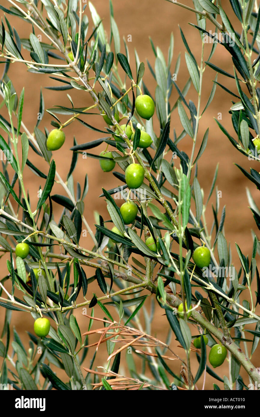 The Fresh green olives produced around Ascoli Piceno in Le Marche are famous for their flavor and succulence Stock Photo