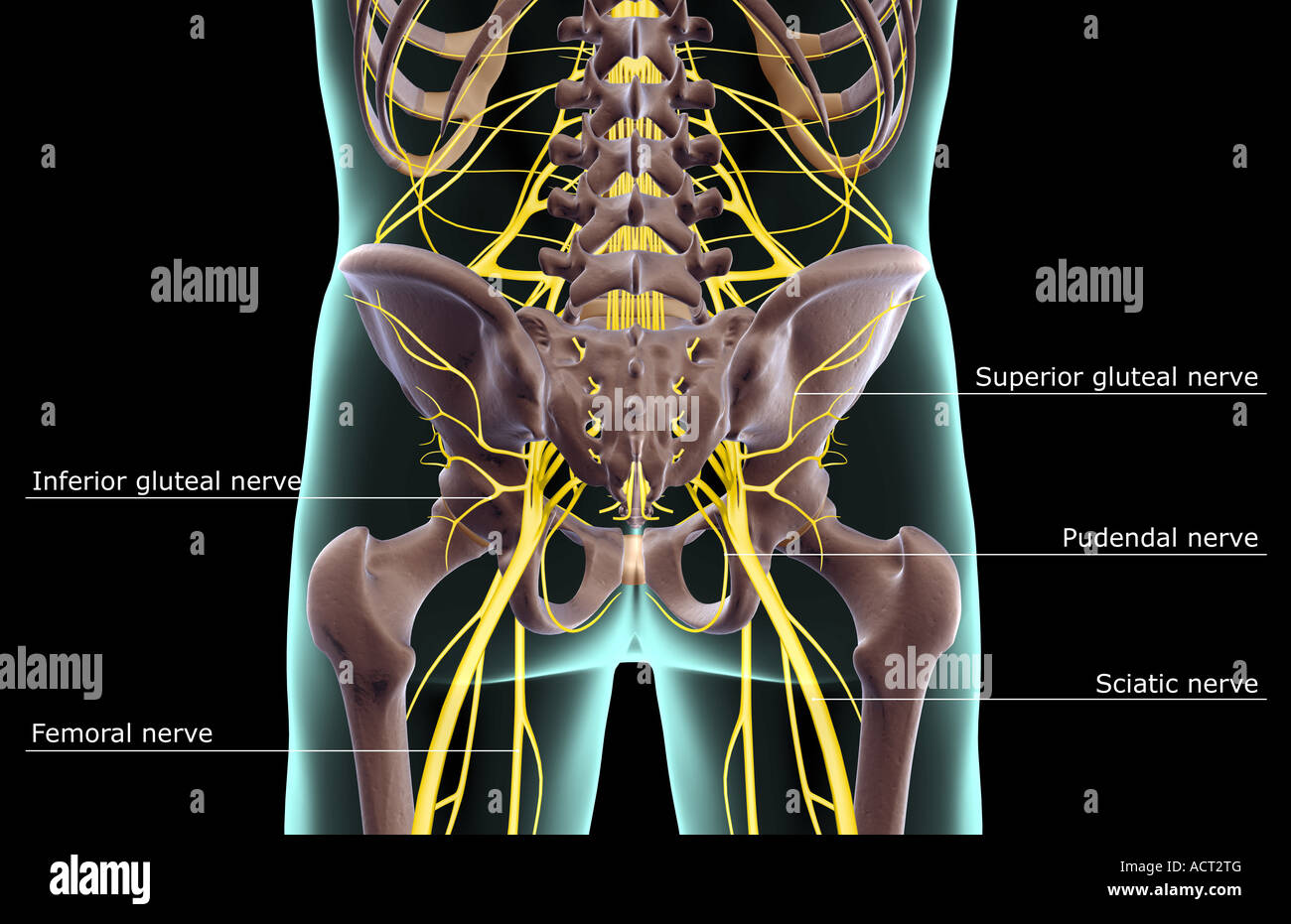 The nerves of the lower body Stock Photo: 13222335 - Alamy