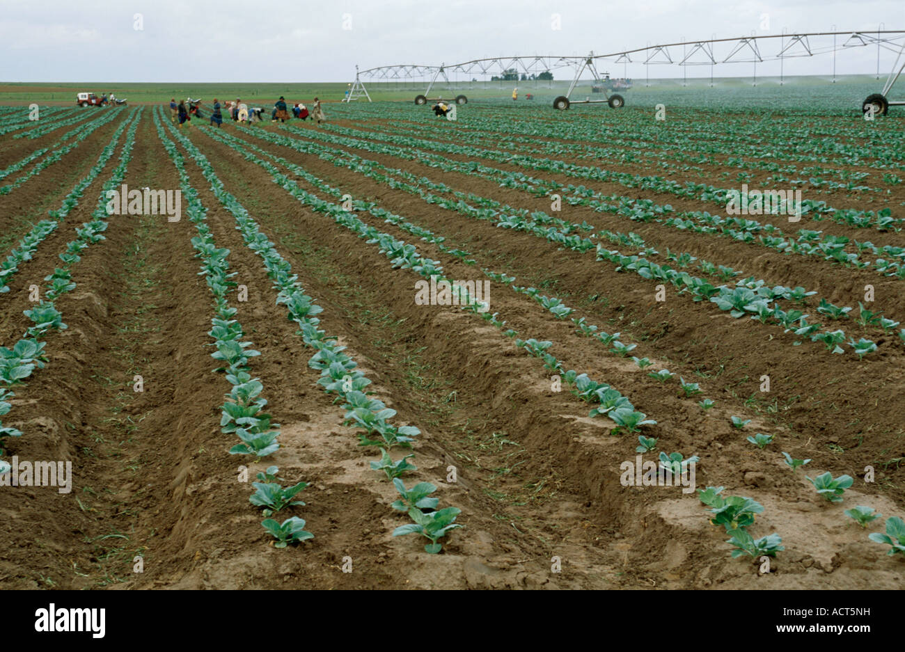 A scene showing rows of cabbages in a field with farm labourers and a centre pivot irrigation rig in the distance - Stock Image