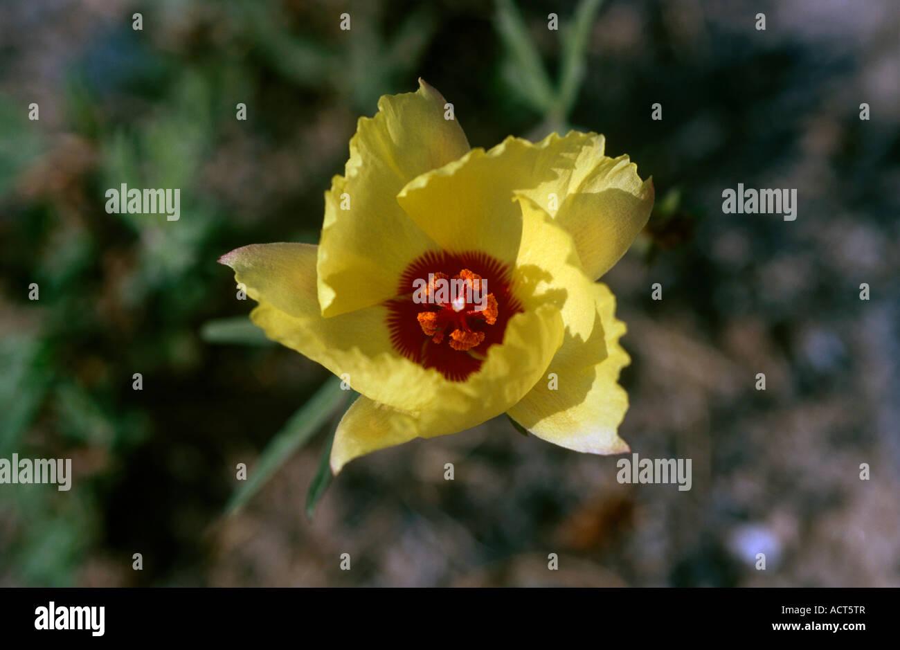 Wild Yellow Hibiscus Hibiscus Stock Photos Wild Yellow Hibiscus