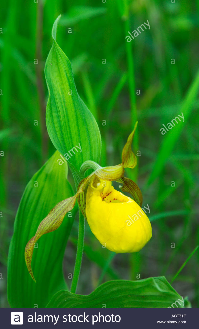 Yellow Ladyslipper Cypripedium Parviflorum Var Pubescens In Southern