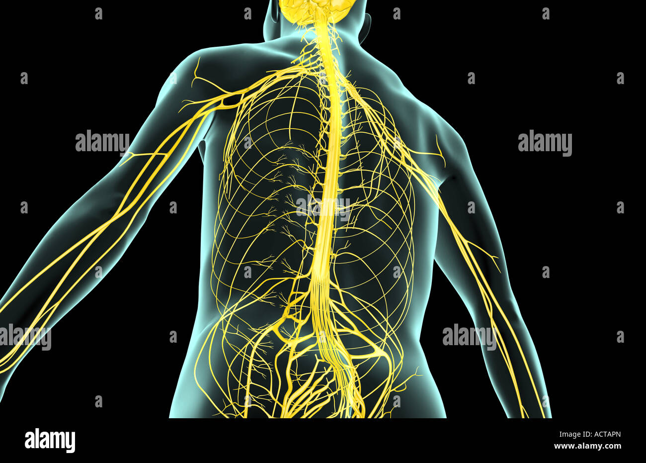 The nerves of the upper body Stock Photo: 13225004 - Alamy