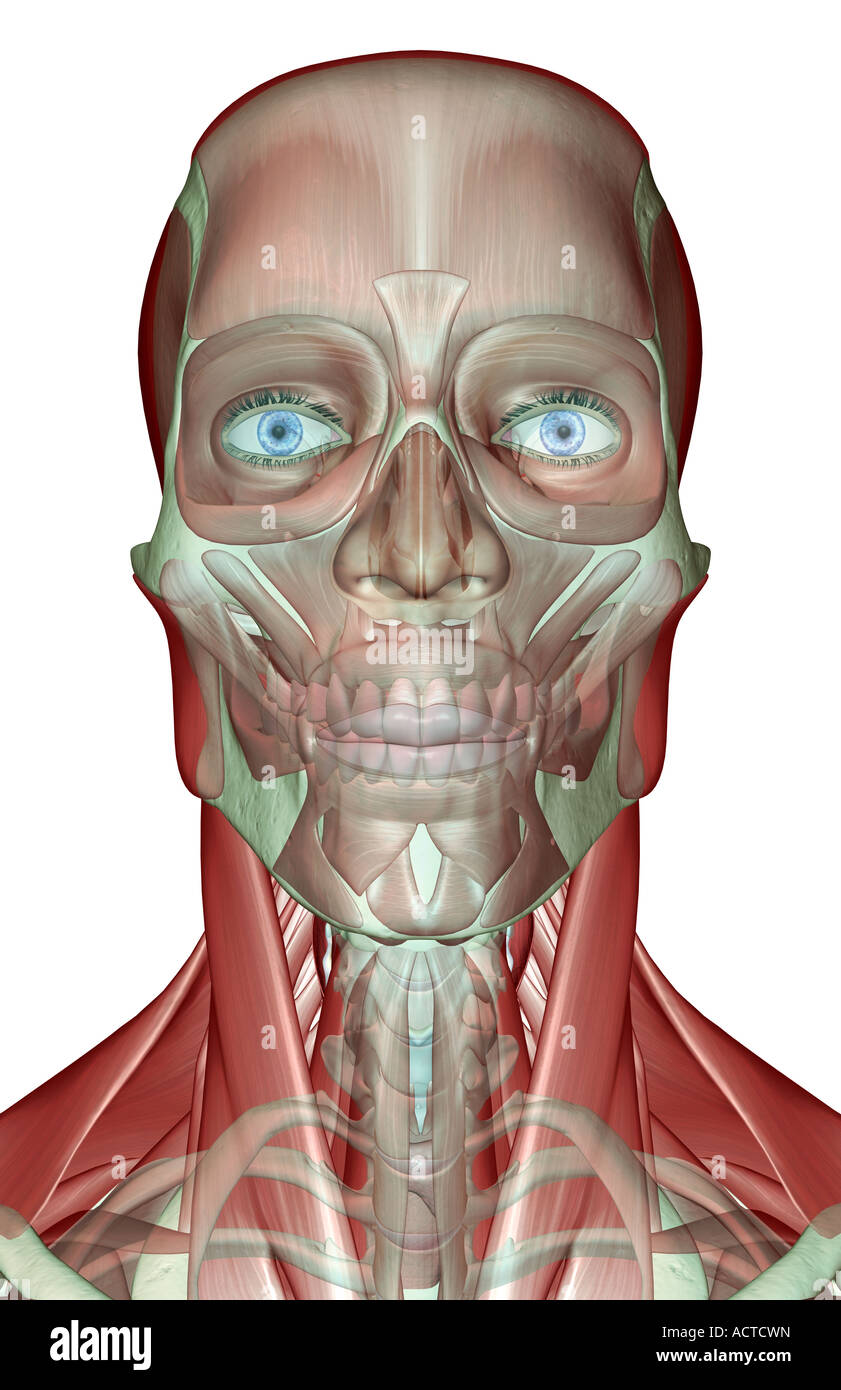 The musculoskeleton of the head neck and face Stock Photo