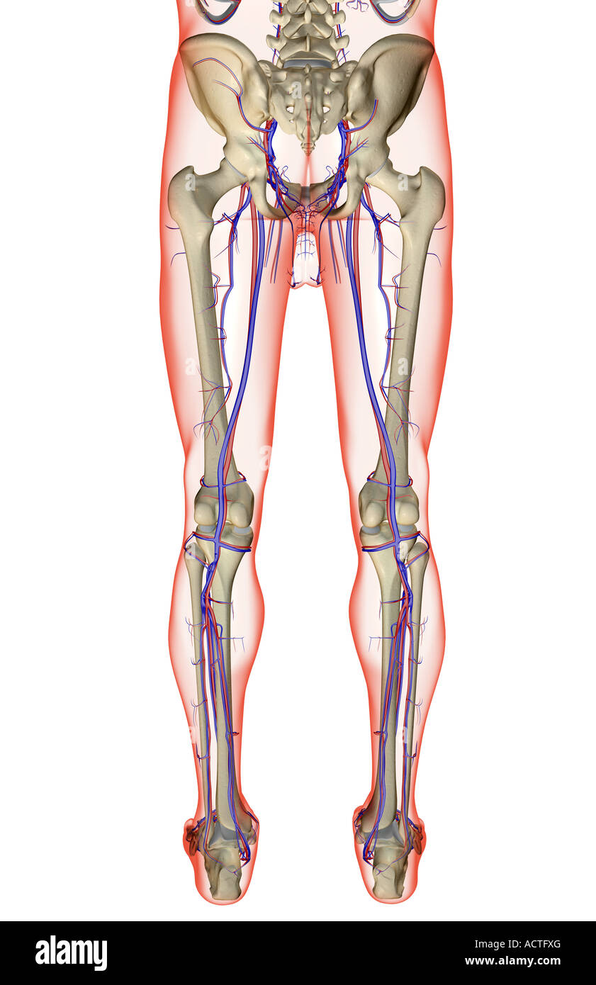The Blood Supply Of The Lower Body Stock Photo 13226727 Alamy