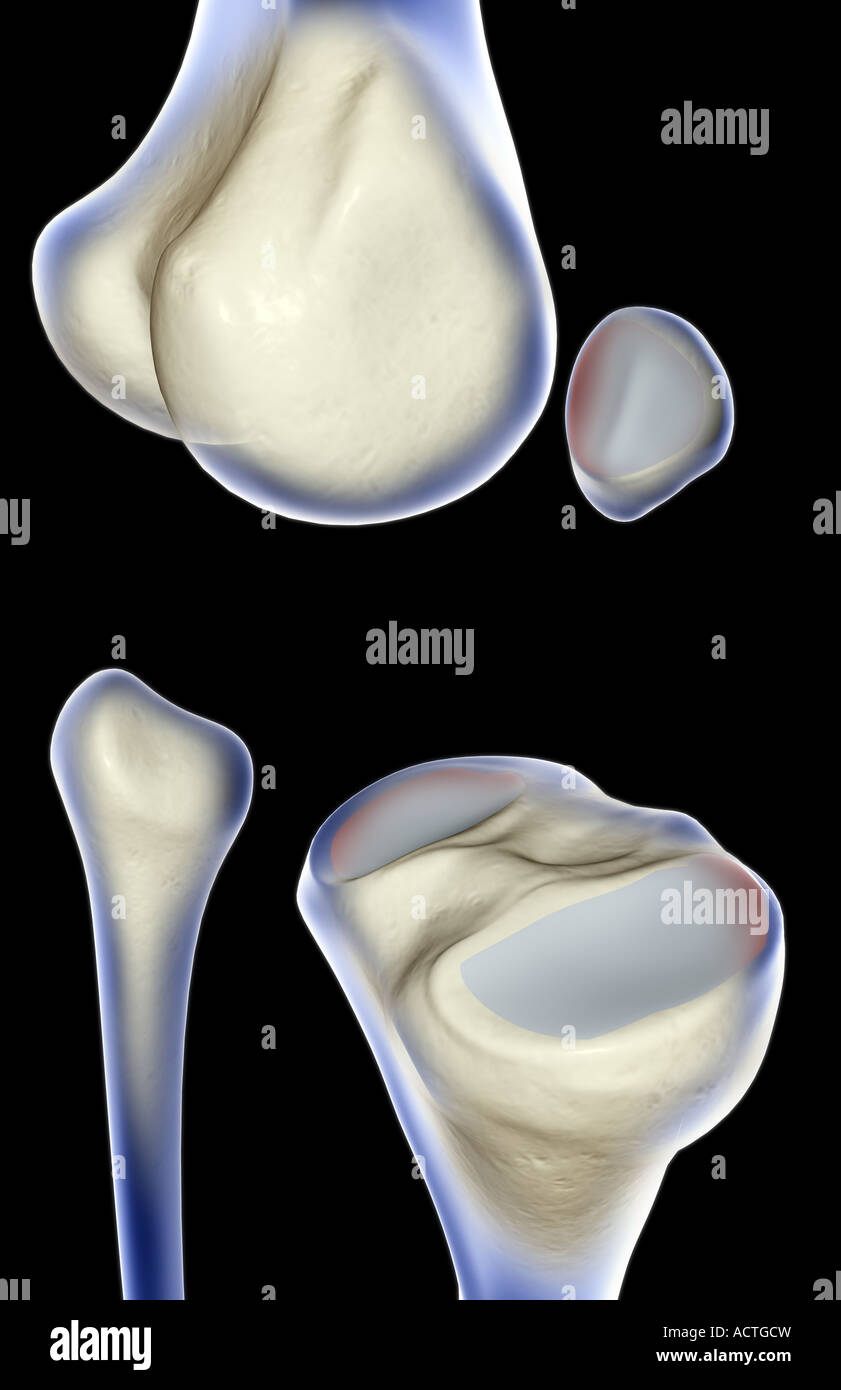Bone Structure Of The Knee Stock Photos Bone Structure Of The Knee