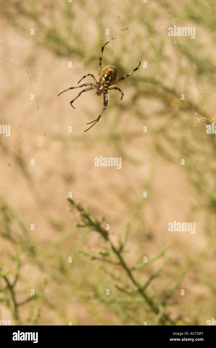 A WESTERN SPOTTED ORB SPIDER SITS IN IT S WEB NEAR THE SALTON SEA SOUTHERN CALIFORNIA - Stock Image