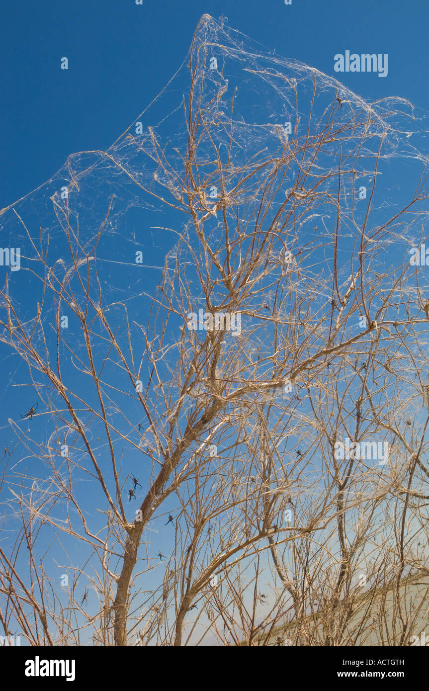 TREES COVERED IN SPIDER WEBS WITH WESTERN SPOTTED ORB WEAVERS NEAR THE SALTON SEA SOUTHERN CALIFORNIA - Stock Image