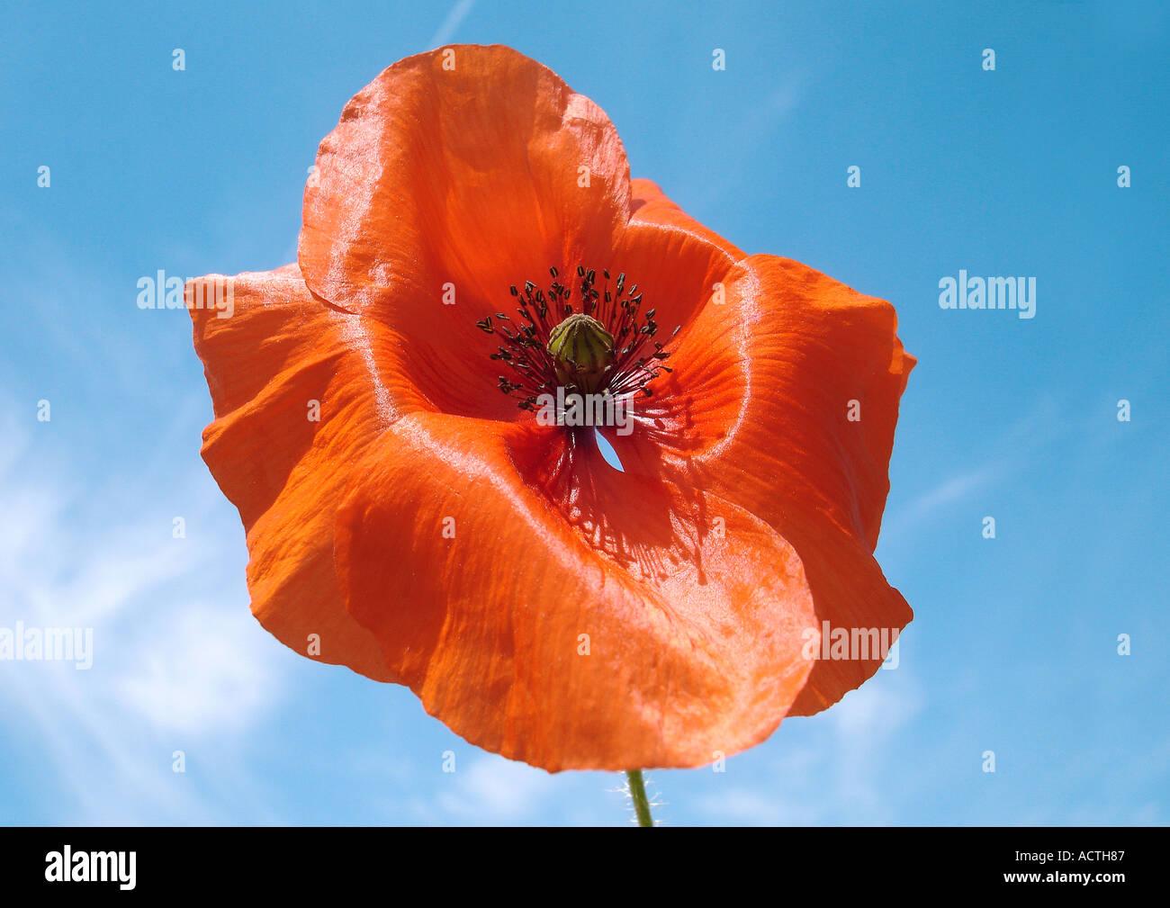 poppys Mohnblumen - Stock Image
