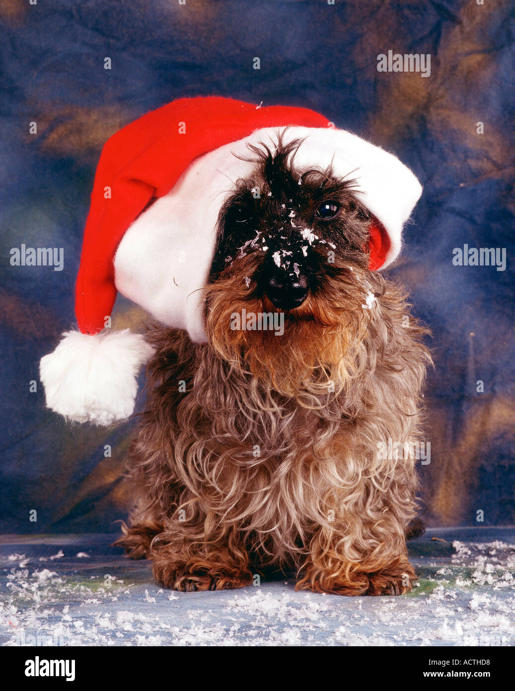 Wire Haired Dachshund With Christmas Cap Rauhhaardackel Mit Stock Photo Alamy