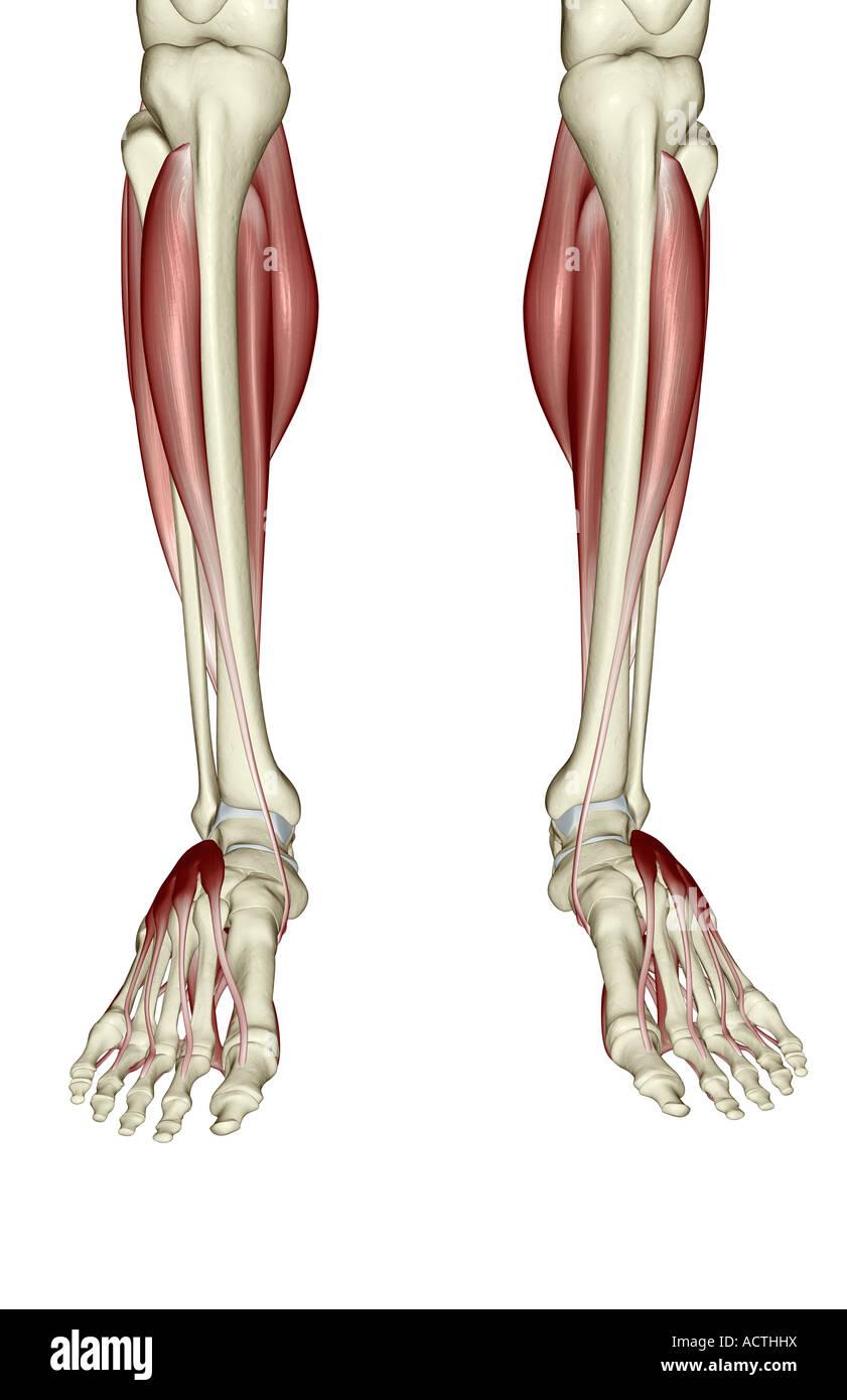 Human Muscle Foot Anatomy Stock Photos & Human Muscle Foot Anatomy ...